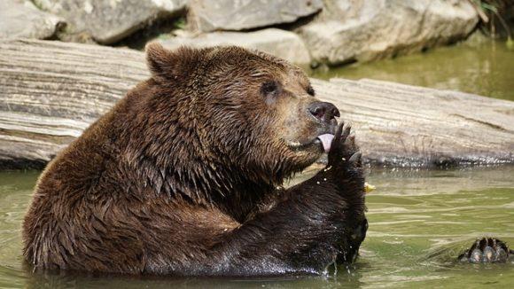 水に浸かっている熊